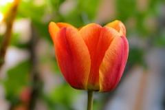 Blume-Bluete-Tulpe-Rot-Orange-Fruehlingsblume