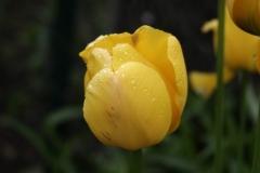 Blume-Blumen-Flora-Gelbe-Blume-Garten-Tulpe