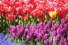 Blume-Einzigartig-Tulpe-Garten-Natur-Blumen-Bunte