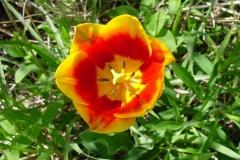 Blume-Fruehling-Natur-Bluete-Blumen-Gelb-Tulpe