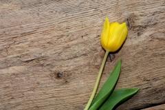 Blume-Gelbe-Blume-Tulpe-Schnittblume-Pflanze