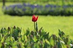 Blume-Istanbul-Natur-Green-Pflanze-Schöne-Tulpen