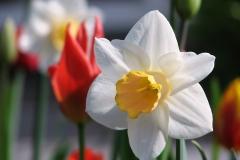 Blume-Narzisse-Fruehling-Weiß-Osterglocken-Tulpe