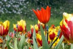 Blume-Pflanze-Garten-Fruehling-Blatt-Gruen-Natur3