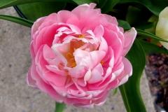 Blume-Rosa-Tulpe