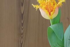 Blume-Tulpe-Bluete-Gelb-Orange-Holz-Fruehlingsblume