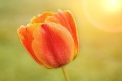 Blume-Tulpe-Bluete-Orange-Gelb-Schöne-Licht