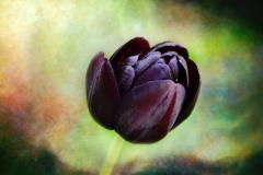 Blume-Tulpe-Dunkelrot-Violett-Bluete-Fruehlingsblume