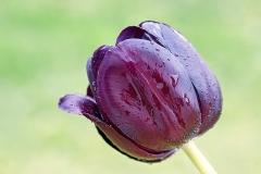 Blume-Tulpe-Fruehling-Bluete-Dunkelrot-Garten-Natur