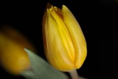 Blume-Tulpe-Gelb-Bluete-Geschlossen-Gelbe-Blume