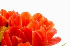 Blume-Tulpe-Gelb-Rot-Rosa-Flora-Wächst-Bunte1