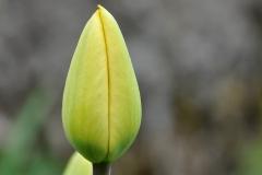 Blume-Tulpe-Geschlossen-Geschlossene-Bluete-Pflanze
