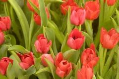 Blume-Tulpe-Holland-Im-Freien-Baum-Park-Blumen
