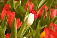 Blume-Tulpe-Holland-Im-Freien-Baum-Park-Blumen1