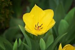 Blume-Tulpe-Pflanze-Bluete-Gelb-Gelbe-Blume