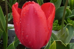 Blume-Tulpe-Rot-Fruehling-Regen
