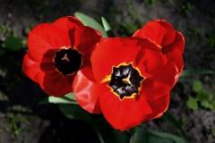 Blume-Tulpe-Schönheit-Pflanze-Natur-Fruehling