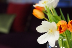 Blume-Tulpe-Weiß-Orange-Hautnah-Blumen-Bluete