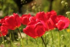 Blume-Tulpen-Rot-Fruehjahr-Sonne