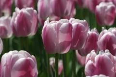 Blume-Tulpenfest-Tulpenfest-Ottawa-Tulpe