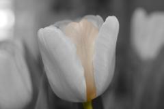 Blume-White-Tulpe