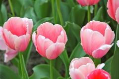 Blumen-Blueten-Tulpen-Fruehling