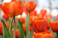 Blumen-Blueten-Tulpen-Fruehling2