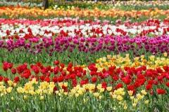 Blumen-Blueten-Tulpen-Fruehling3