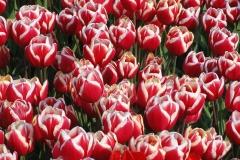Blumen-Blueten-Tulpen-Rot-Weiß-Gluehbirnen-Fruehling