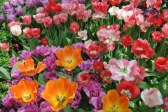 Blumen-Cluster-Tulpe-Bluehende-Garten-Bunt