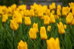 Blumen-Gelb-Gelbe-Blumen-Blume-Tulpe-Tulpen