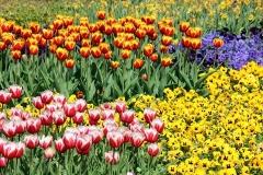 Blumen-Pflanzen-Tulpen-Fruehjahr-Ostern
