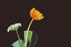 Blumen-Tulpe-Bluete-Orange-Lauchbluete-Weiß