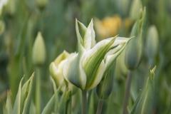 Blumen-Tulpe-Fruehling-Natur-Blueten-Farbenfroh
