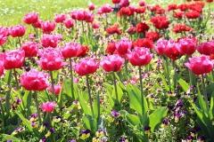 Blumen-Tulpe-Fruehling-Natur-Farbe-Rosa-Schön
