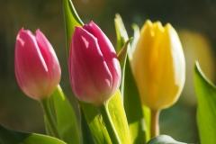 Blumen-Tulpen-Bluete-Fruehling-Natur-Flora-Pflanzen