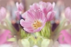 Blumen-Tulpen-Bluete-Rosa-Fruehlingsblume