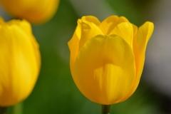 Blumen-Tulpen-Blueten-Gelb-Fruehlingsblume
