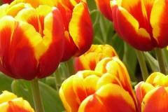 Blumen-Tulpen-Farbenfroh-Bluete-Bluehen-Sommer