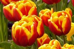 Blumen-Tulpen-Farbenfroh-Bluete-Bluehen-Sommer1