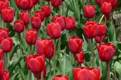 Blumen-Tulpen-Farbenfroh-Bluete-Bluehen-Sommer2