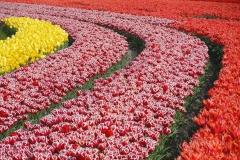 Blumen-Tulpen-Feld-Sorten-Pflanzen-Gluehbirnen1