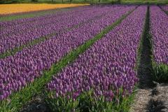 Blumen-Tulpen-Feld-Sorten-Pflanzen-Gluehbirnen3