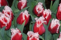 Blumen-Tulpen-Fruehling-Gluehbirne-Gluehbirnen