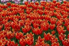Blumen-Tulpen-Fruehling-Großzuegig