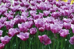 Blumen-Tulpen-Fruehling-Großzuegig1