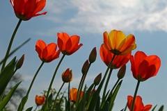 Blumen-Tulpen-Fruehling-Natur-Blueten-Rot-Pink
