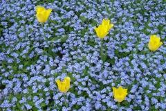 Blumen-Tulpen-Fruehling-Natur-Farbenfroh-Gruen