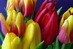 Blumen-Tulpen-Fruehling-Natur-Gelb-Bluete-Garten