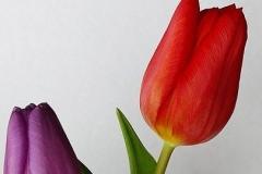 Blumen-Tulpen-Fruehling-Natur-Gelb-Bluete-Garten1